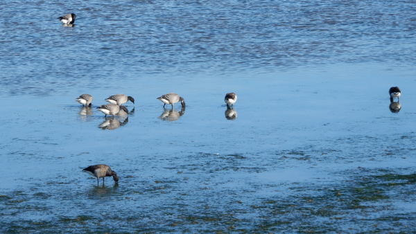 Brent Geese SEAGRASS Presentation 23rd September 2019